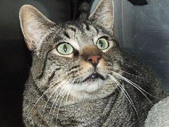 Domestic Shorthair Cat for adoption in Burbank, California - Sir Cedric the Large