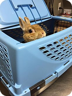 Netherland Dwarf Mix for adoption in Troy, Michigan - CinnaBunny
