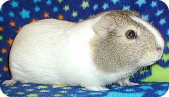 Guinea Pig for adoption in Highland, Indiana - Annie