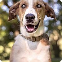 Adopt A Pet :: Dixie - St. Louis, MO
