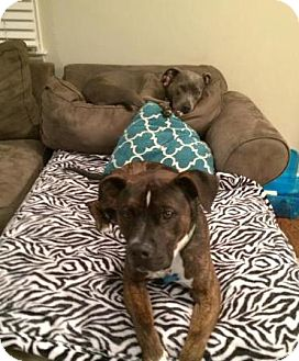 Boxer/Staffordshire Bull Terrier Mix Dog for adoption in Parsippany, New Jersey - *COURTESY POST* Gilbert