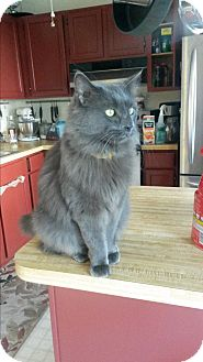 Domestic Shorthair Cat for adoption in Fredericksburg, Virginia - Alex