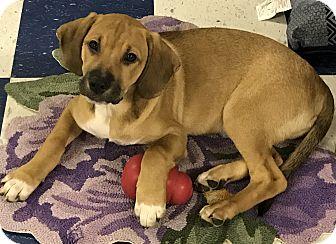 Hound (Unknown Type)/Pointer Mix Puppy for adoption in Redding, California - Frank