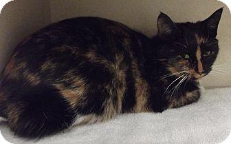 Domestic Shorthair Cat for adoption in Cheboygan, Michigan - TASHA
