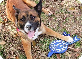 Akita Mix Dog for adoption in Austin, Texas - Kojack