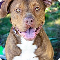 Adopt A Pet :: Brutus - Anderson, IN