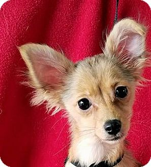 Chihuahua Mix Puppy for adoption in San Antonio, Texas - Rosella