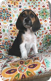 Beagle Puppy for adoption in Russellville, Kentucky - Vera