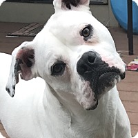 Adopt A Pet :: Snow White - Toledo, OH