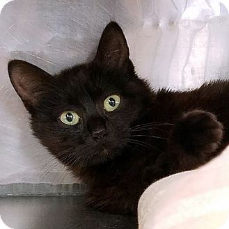 Domestic Shorthair Cat for adoption in Stillwater, Oklahoma - Bear