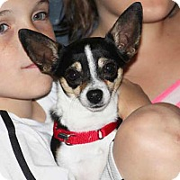 Chihuahua Mix Dog for adoption in South Bend, Indiana - Trixie