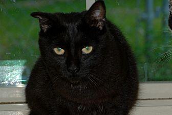 American Shorthair Cat for adoption in Salem, West Virginia - Gilbert