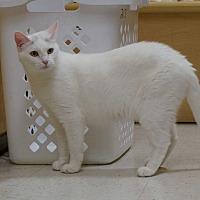 Adopt A Pet :: Ivory - Salem, NH
