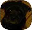 Poodle (Miniature)/Pomeranian Mix Dog for adoption in Hamilton, Ontario - Samson