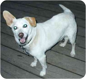 Jack Russell Terrier Mix Dog for adoption in Richmond, Virginia - Coconut