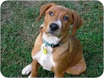 Labrador Retriever/Golden Retriever Mix Puppy for adoption in Old Bridge, New Jersey - Joker