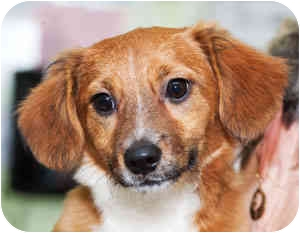 Beagle Mix Puppy for adoption in Warren, Pennsylvania - Sadie