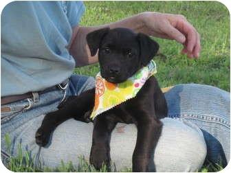 Labrador Retriever Mix Puppy for adoption in Portsmouth, Rhode Island - Davita