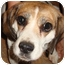 Photo 2 - Beagle Dog for adoption in Leesport, Pennsylvania - Patty URGENTLY needs a home!