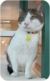 Domestic Shorthair Cat for adoption in Springfield, Massachusetts - Dexter-FIV positive