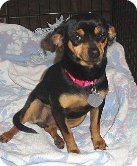 Miniature Pinscher/Fox Terrier (Toy) Mix Dog for adoption in Sierra Vista, Arizona - Maddie