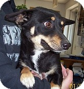 Corgi/Dachshund Mix Dog for adoption in Silver City, New Mexico - Porgi