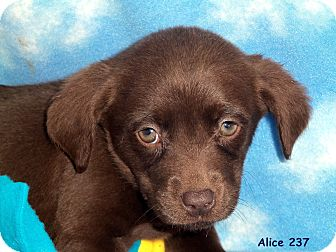 Labrador Retriever Mix Puppy for adoption in Waldorf, Maryland - Alice #237