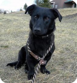 Labrador Retriever/Basset Hound Mix Puppy for adoption in Cheyenne, Wyoming - David