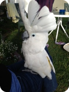 Cockatoo for adoption in Fountain Valley, California - Tango