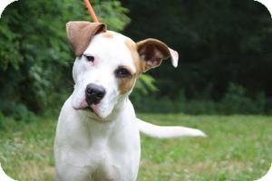 Boxer/Pit Bull Terrier Mix Dog for adoption in Staunton, Virginia - Amos