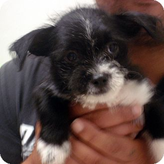 Terrier (Unknown Type, Small)/Terrier (Unknown Type, Small) Mix Puppy for adoption in Greencastle, North Carolina - Corey