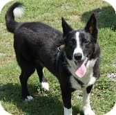 Border Collie Mix Dog for adoption in Foster, Rhode Island - Ginger Zee