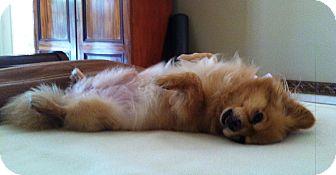 Pomeranian Dog for adoption in conroe, Texas - Rusty