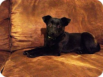Labrador Retriever Mix Puppy for adoption in New Oxford, Pennsylvania - Onxy