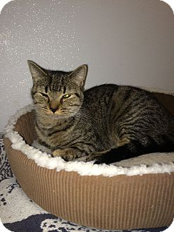 American Shorthair Cat for adoption in Broadway, New Jersey - Lisa