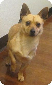 Pomeranian/Corgi Mix Puppy for adoption in Oak Ridge, New Jersey - Eddie