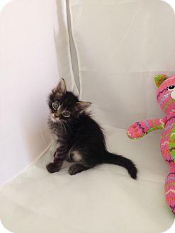 Domestic Longhair Kitten for adoption in Fountain Hills, Arizona - OZZIE