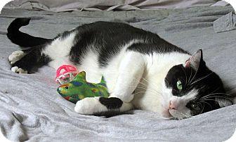 Domestic Shorthair Cat for adoption in Toledo, Ohio - Pepper