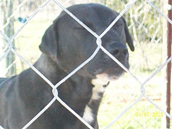Labrador Retriever/Catahoula Leopard Dog Mix Dog for adoption in Mexia, Texas - Wyatt