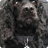 Adopt A Pet :: Siouxie (Suzy Q) - Sugarland, TX