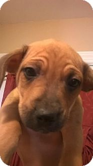 Spaniel (Unknown Type) Mix Puppy for adoption in Lima, Pennsylvania - Mr. Wrinkles