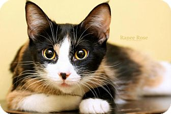 Domestic Shorthair Cat for adoption in Sterling Heights, Michigan - Helen