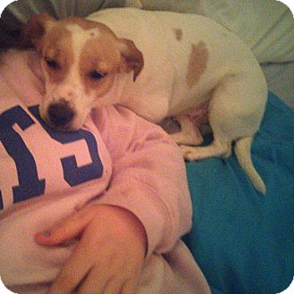 Jack Russell Terrier Dog for adoption in Berea, Kentucky - Lucky Lucy