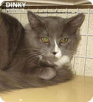 Domestic Mediumhair Cat for adoption in Elizabeth City, North Carolina - Dinky