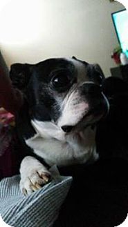 Boston Terrier Mix Dog for adoption in Cleveland, Ohio - Rocco