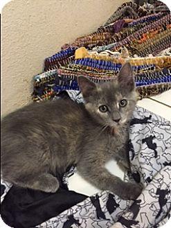 Domestic Shorthair Cat for adoption in Elk Grove, California - Jypsi