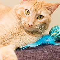 Domestic Shorthair Cat for adoption in Chicago, Illinois - Blanket