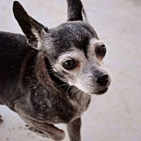 Chihuahua Mix Dog for adoption in McKinney, Texas - Mickey