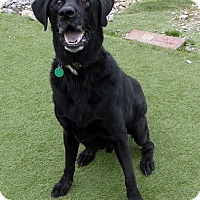 Labrador Retriever Dog for adoption in Towson, Maryland - Sequoia