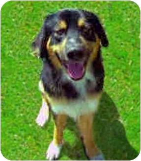 Bernese Mountain Dog Dog for adoption in San Clemente, California - KENNY